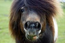 Shetland Pony Frisst Gras
