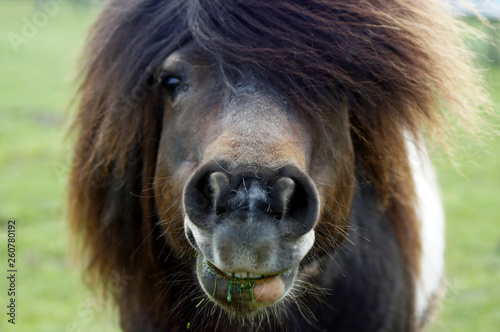 Fototapeta Shetland Pony frisst Gras obraz