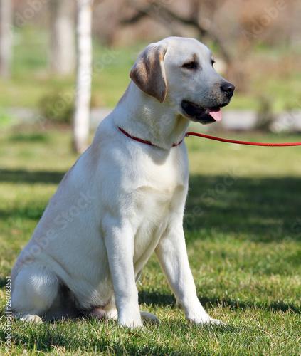 Fotografie, Obraz  a sweet yellow labrador in the park