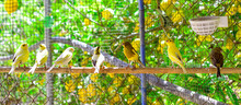 Canary Birds Inside A Cage About To Take Flight