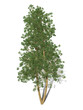 3D Rendering - A tree isolated over a white background for graphic design, illustration image.