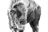 American Bison - Frost - 260797934