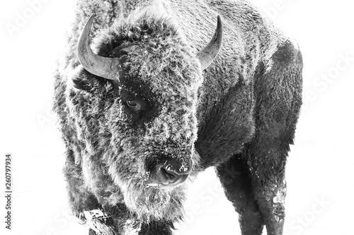Photo sur Toile Bison American Bison - Frost