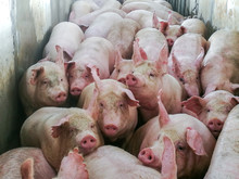 Pigs In Slaughter House