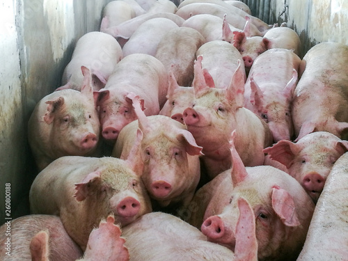 Photo Pigs in slaughter house