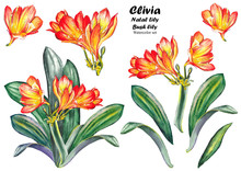 Set Of Clivia Miniata Flowers (Natal Lily, Bush Lily). Watercolor On White Background. Isolated Elements For Design.