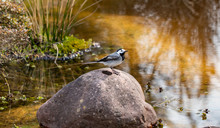 Genus Of Songbirds. A White Wagtail On A Rock In A Shallow River In Early Spring In Germany. The Motacilla Alba Is A Small Passerine Bird And Kills Flies And Mosquitoes.