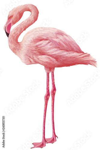 Bright drawn american flamingo isolated