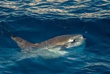 Sunfish On Sea Surface While E...