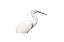 Isolated White Heron. White Background. Bird: Little Egret.