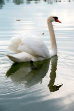 Stolzer Weißer Höckerschwan Schwimmt Majestätisch Auf Dem Wasser