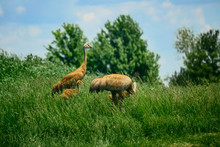 Cranes In The Field
