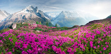 Alpine Rhododendrons On The Mo...