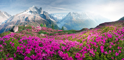 Alpine rhododendrons on the...