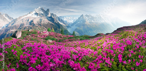 Poster Alpes Alpine rhododendrons on the mountain fields of Chamonix