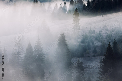 Photo sur Aluminium Gris Fir forest on mountain hills at misty foggy weather. Green summer woodland in the fog