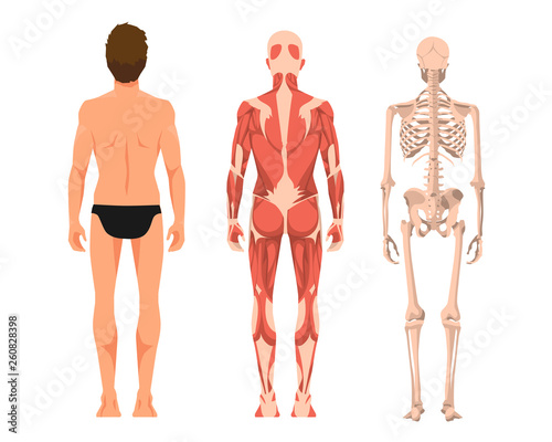 Cuadros en Lienzo Vector illustration of man anatomy