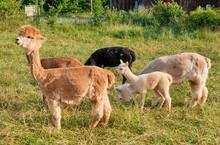 Alpaca Gruppe In Der Natur
