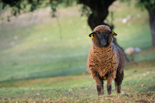 Brown Sheep Ewe Looking Directly At Camera In The Spring