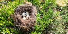 Four Bird Eggs In A Nest Sprin...
