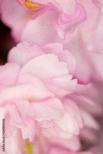 Fototapeta Close Up Macro Of Cherry Tree Pink Blossom  obraz na płótnie
