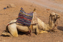 Dromedary From The Sinai Peninsula. Arabian Camel (Camelus Dromedarius). The Animal Is Used By Bedouins As Beast Of Burden To Transport Tourist Through The Desert Sand Dunes.