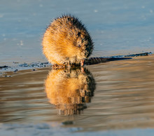 Cute Critter - A Muskrat Is Reflected In The Golden Water At The Edge Of A Hole In The Ice. Belmar Park, Lakewood, Colorado.