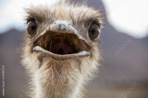 Spoed Foto op Canvas Struisvogel Ostrich