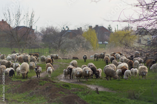Fotografía  Herd of sheep and rams go on country road to pasture for eating  grass on meadow