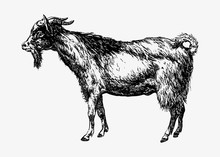 Farm Goat Animal Drawing