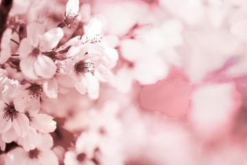 美しく咲き誇る満開の桜を白と茶系で表現