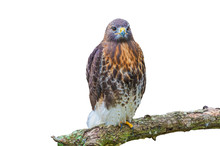 Red Tailed Hawk Isolated On White
