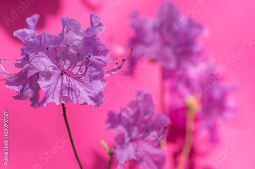 Pink azalea bush. Spring flowers background.