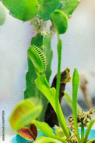 Fotografie, Obraz  Pitcher, Flytrap,carnivorous plants in the rain forest