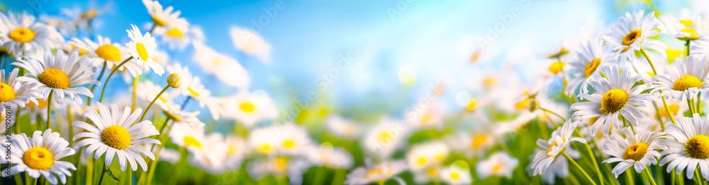 Fototapety, obrazy: Chamomile flower