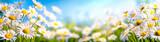 Fototapeta Kwiaty - Chamomile flower