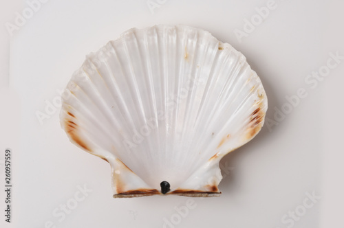 Fotografia scallop shell in closeup on white background