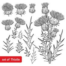 Set With Outline Welted Thistle Or Carduus Plant, Spiny Leaf, Bud And Flower Bunch In Black Isolated On White Background.
