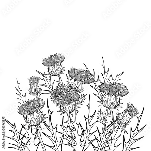 Photo Thickets of outline welted Thistle or Carduus plant, spiny leaf, bud and flower bunch in black isolated on white background
