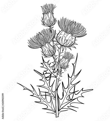 Canvas Print Branch with outline welted Thistle or Carduus plant, spiny leaf, bud and flower in black isolated on white background