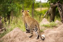 Leopard Walking Amongst Green ...