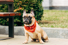 Cute French Bulldog Wearing Re...