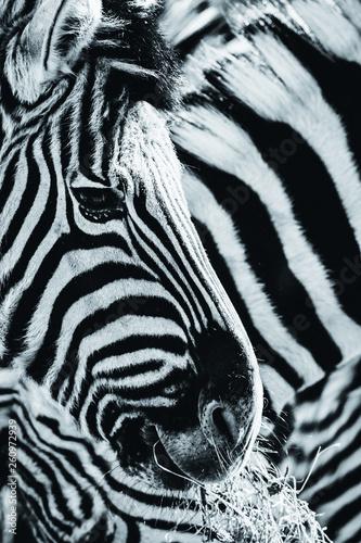 Fototapeta Zebra, Schwarz-Weiß obraz na płótnie