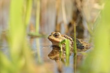 Frog In A Pond During Mating S...