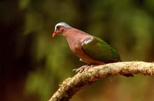 Emerald Dove, Chalcophaps Indica, Ganeshgudi, Karnataka, India.
