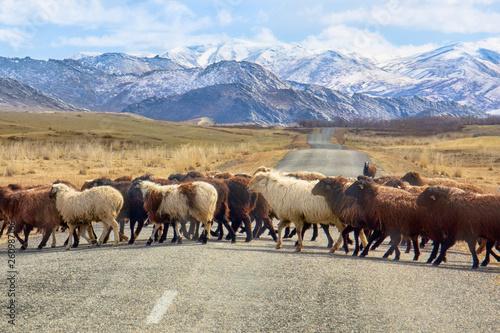 Sheep cross the road