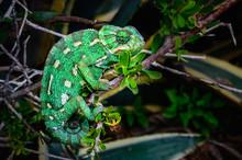 Wild Mediterranean Or Common Chameleon In Bush