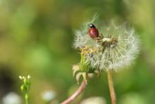 Nature Background Ladybug On Dandelion.