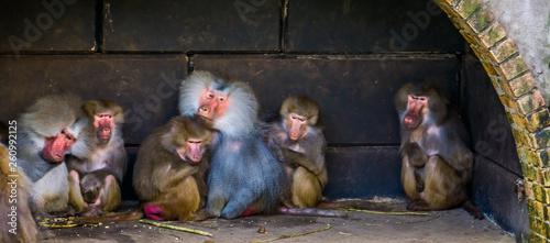 Fotografie, Obraz  family of hamadryas baboons sitting together, tropical monkeys from egypt