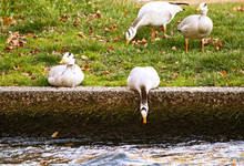 A Curious Hansa Goose Watches ...